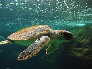 Vassilikos je domovinou ohroženého druhu želvy Caretta- Caretta /